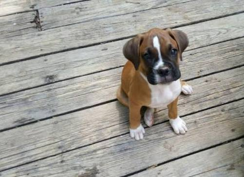 10-week old boxer dog