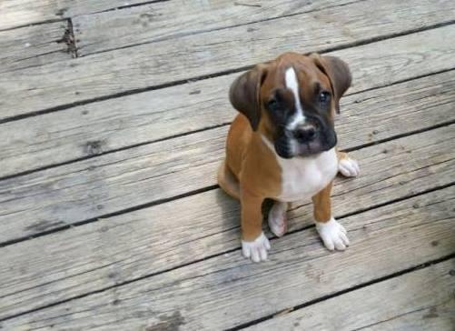 10-week old boxer dog